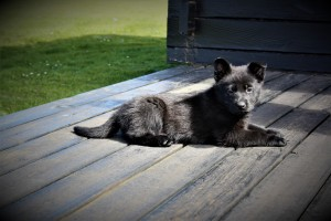 Kiwi 6 uger gammel